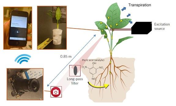 Nanosensor plants